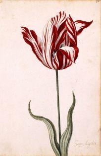 800px-Semper_Augustus_Tulip_17th_century